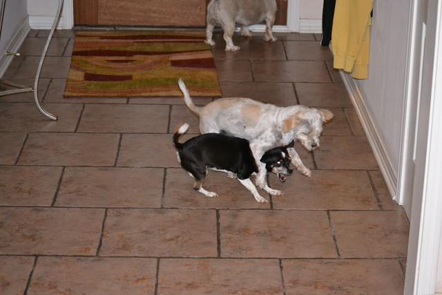 Rat Shitz Puppies  2011 (3)