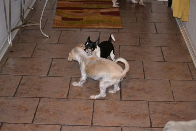 Rat Shitz Puppies  2011 (4)