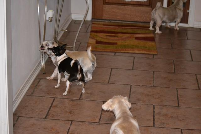 Rat Shitz Puppies  2011 (5)