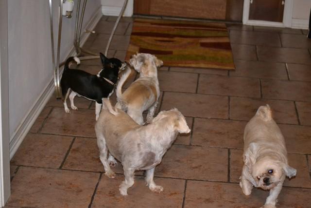 Rat Shitz Puppies  2011 (6)