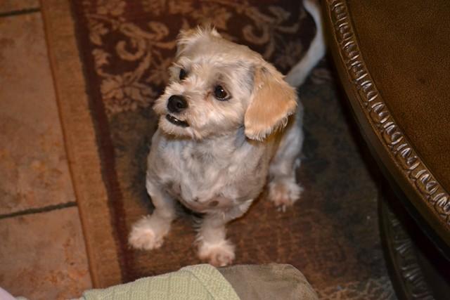 Rat Shitz Puppies  2011 (9)